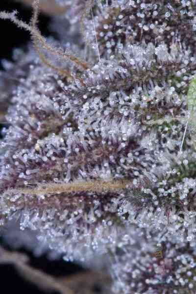 Killer Grape > TGA Subcool Seeds