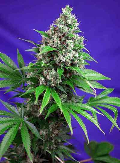 Killer Kush F1 Fast Version > Sweet Seeds