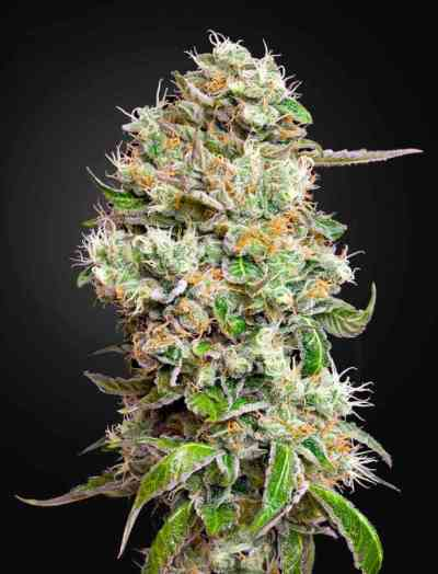King's Kush Automatic CBD > Green House Seed Company