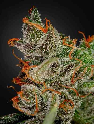 King\'s Kush > Green House Seed Company