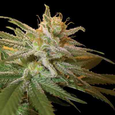 Kushberry Samen > DNA Genetics