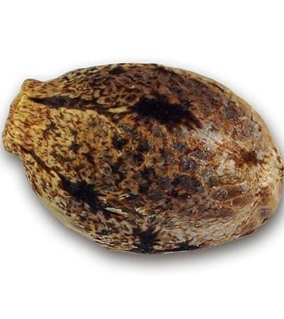 La Bella Afrodita > Delicious Seeds