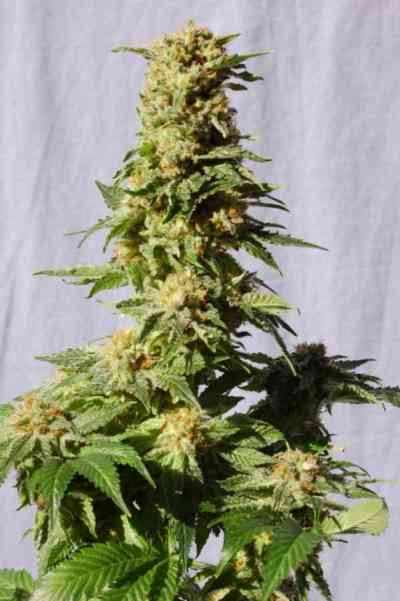 La Blanca > Kannabia Seeds