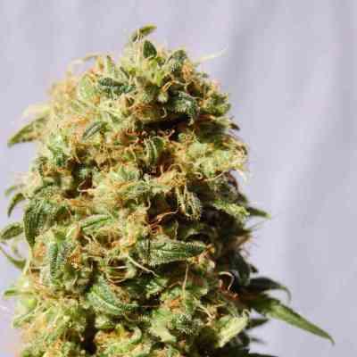 Kaboom > Kannabia Seeds