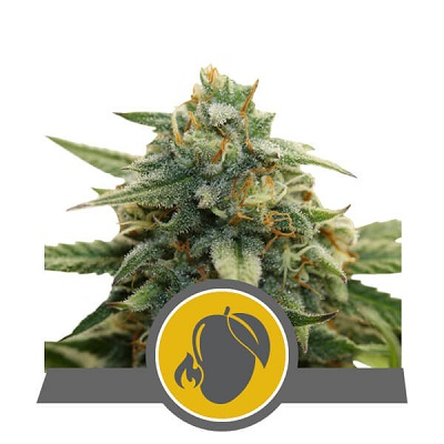 Mango Crunch > Royal Queen Seeds