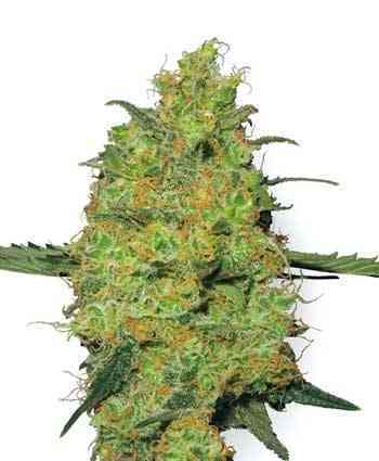 Master Kush semilla > White Label Seeds