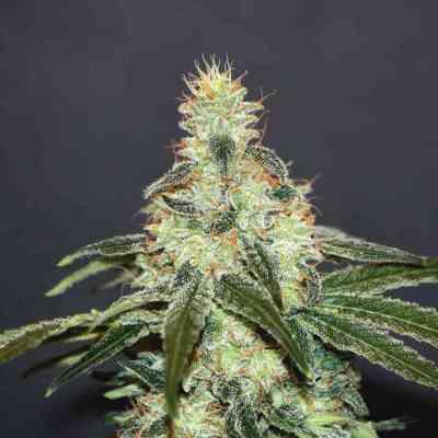 Mataro Blue CBD > Kannabia Seeds