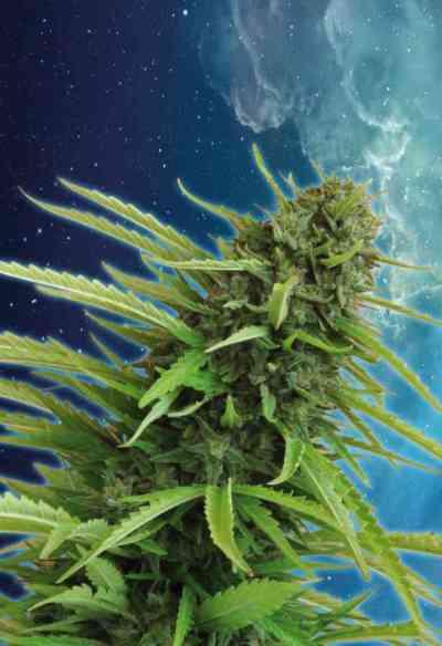 Mataro Blue semilla > Kannabia Seeds