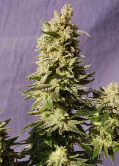 Mataro Blue > Kannabia Seeds