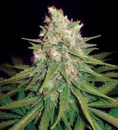 Mazar x Great White Shark > World of Seeds