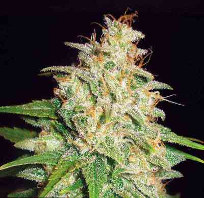 Mazar x White Rhino > World of Seeds