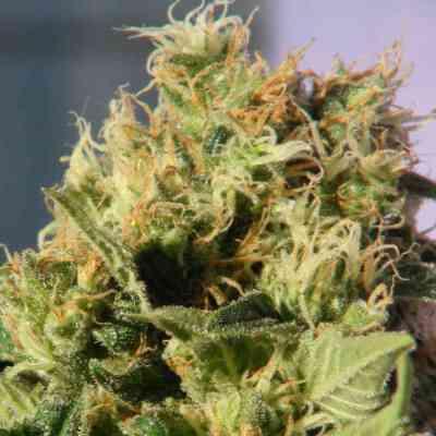 Mikromachine > Kannabia Seeds