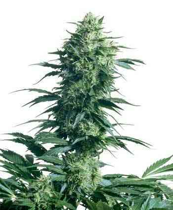 Mothers Finest > Sensi Seeds