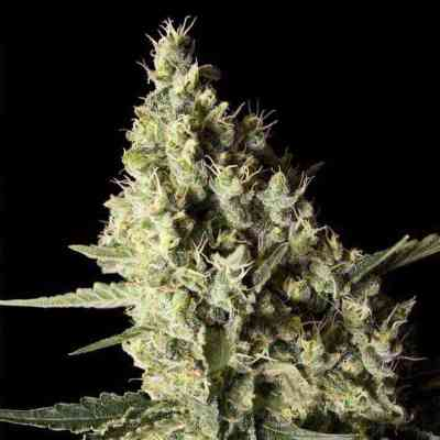 Narkosis > Blim Burn Seeds