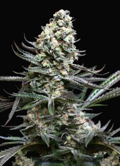 Nordes Seed > Absolute Cannabis Seeds