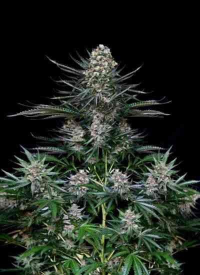Nordes semence > Absolute Cannabis Seeds