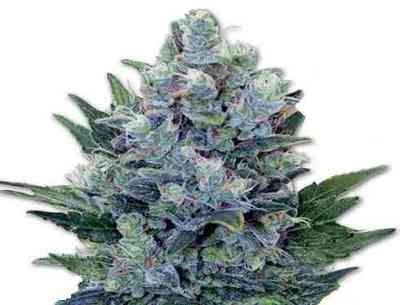 Northern Light Automatic > Royal Queen Seeds