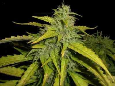 Northern Lights x Big Bud Auto > World of Seeds