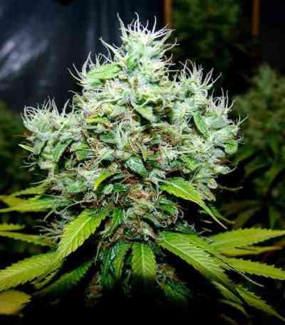 NYC Diesel > Soma Seeds