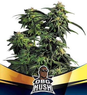 OBG Kush > BSF Seeds