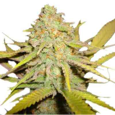 O.G. Kush semilla > Royal Queen Seeds