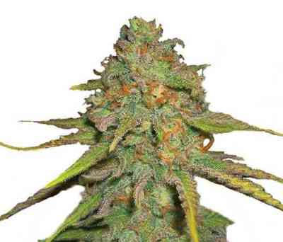 O.G. Kush > Royal Queen Seeds