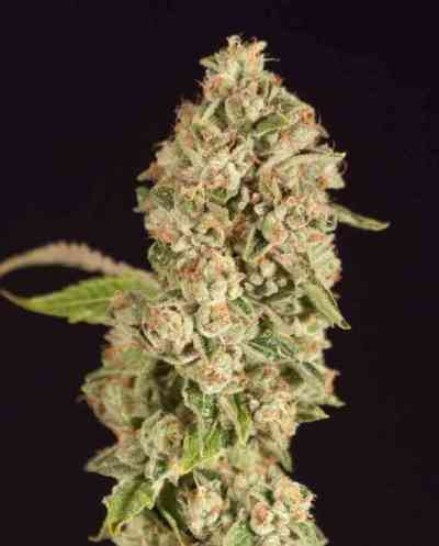 OG Reek\'n Samen > The Devil\'s Harvest Seed Company