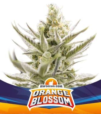 Orange Blossom XXL Auto > BSF Seeds