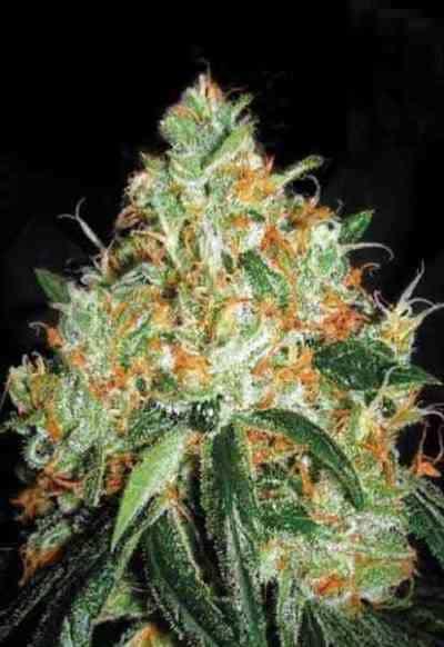 Orange Bud > Dutch Passion