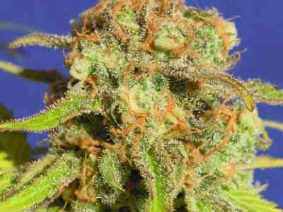 Bruce Banner #3 Auto > Original Sensible Seeds
