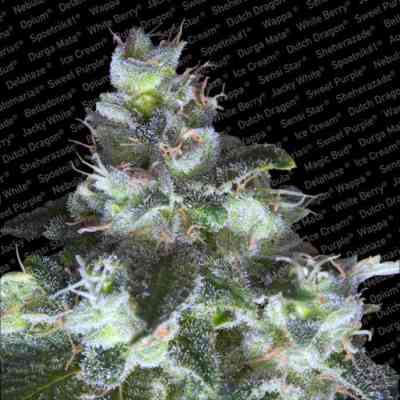 Original White Widow > Paradise Seeds