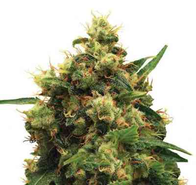 Painkiller XL > Royal Queen Seeds
