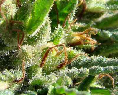 Indica Pure Origin Collection > World of Seeds