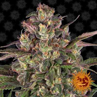 Peyote Critical Seed > Barneys Farm