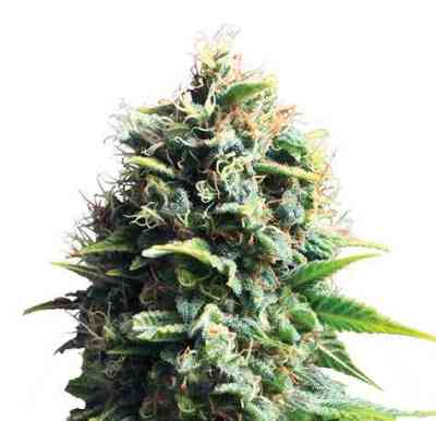 Pineapple Kush Samen > Royal Queen Seeds