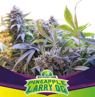 Pineapple Larry OG