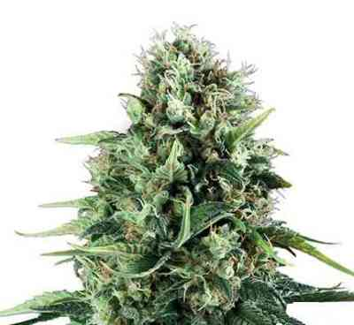 Power Flower > Royal Queen Seeds