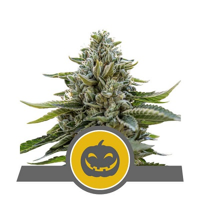 Pumpkin Kush > Royal Queen Seeds