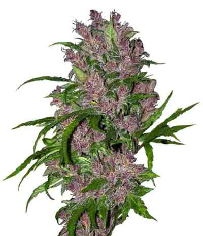 Purple Bud Automatic > White Label Seeds