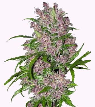 Purple Bud Automatic > White Label Seeds