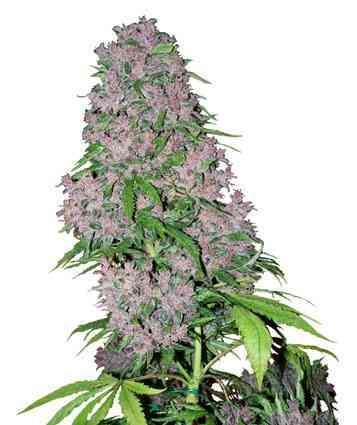 Purple Bud > White Label Seeds