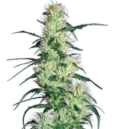 Purple Haze > White Label Seeds