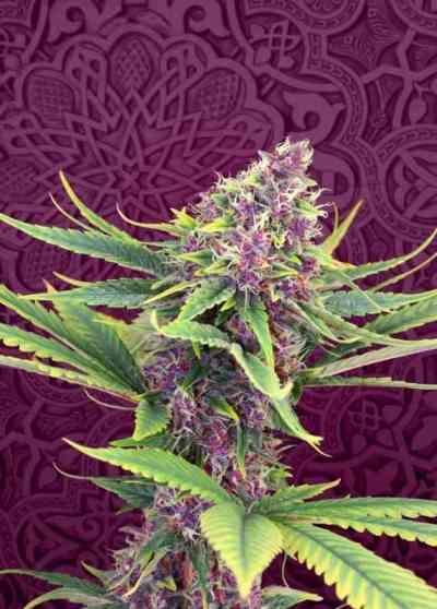 Purple Kush semilla > Kannabia Seeds