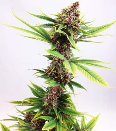 Purple Kush > Kannabia Seeds