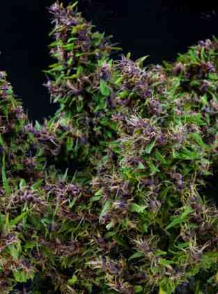 Purple Paro Valley semence > Mandala Seeds