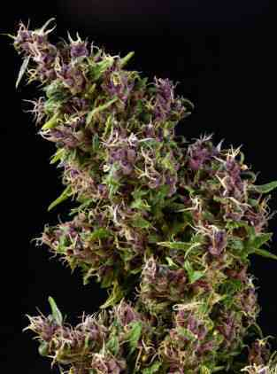 Purple Paro Valley > Mandala Seeds