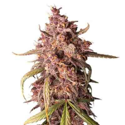 Purple Punch Autoflower > Seed Stockers