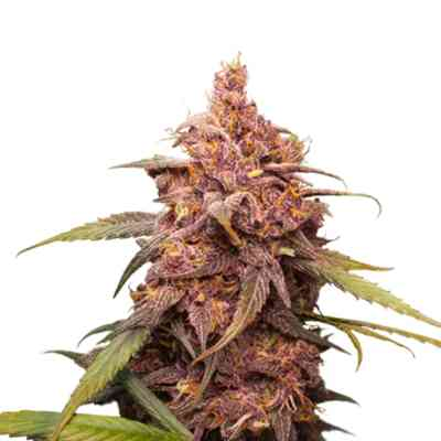 Purple Punch Seed > Seed Stockers