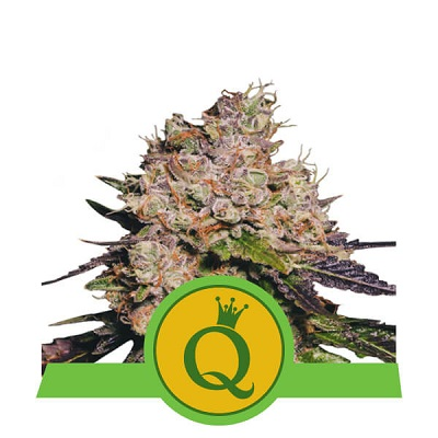 Purple Queen Automatic > Royal Queen Seeds