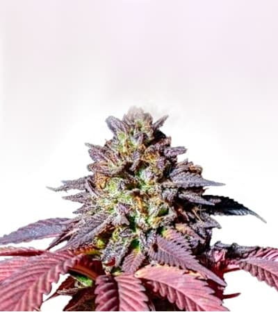 Purple Queen > Royal Queen Seeds